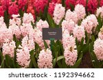 """info plate """"hyacinth china pink""""...   Shutterstock . vector #1192394662"""