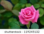 Stock photo pink rose blooming in garden 119245132