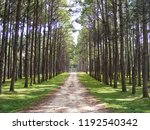 Walkway In The Pine Forest In...