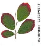 gren ad red leaves of hamamelis ...   Shutterstock . vector #1192595845