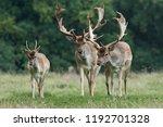 fallow deer  dama dama  in its... | Shutterstock . vector #1192701328