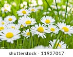 daisy flowers on field with shallow depth of field - stock photo