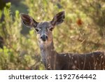 a columbian black tailed deer... | Shutterstock . vector #1192764442