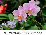 the orchid in full bloom   Shutterstock . vector #1192874665