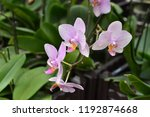 the orchid in full bloom   Shutterstock . vector #1192874668