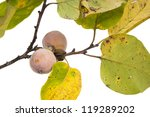 Small photo of The branch of wild American persimmon with ripe fruit on a white background