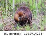 Beaver at Crex Meadows Wildlife Area near Grantsburg Wisconsin.