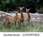 red deer  cervus elaphus  in... | Shutterstock . vector #1192997092
