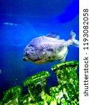 ordinary piranhas are a species ... | Shutterstock . vector #1193082058