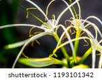 white flowers are most closely... | Shutterstock . vector #1193101342
