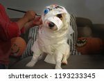 Dog Dressed As A Mummy Or...