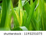Close Up Image Of Green Corn...