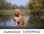 beautiful american bulldog on a ... | Shutterstock . vector #1193299162