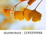 autumn leaves of ginkgo biloba ... | Shutterstock . vector #1193354968