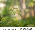 cow parsley  wild chervil  wild ... | Shutterstock . vector #1193380642