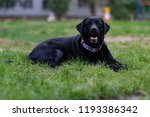 black labrador retriever  | Shutterstock . vector #1193386342