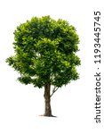 Small photo of The tree is completely separated from the white ba background Scientific name Dolichandrone serrulata (Wall. ex DC.) Seem.