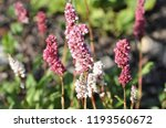 cylindrical spikes of many pale ... | Shutterstock . vector #1193560672