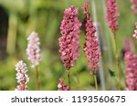 cylindrical spikes of many pale ... | Shutterstock . vector #1193560675