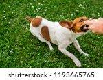 dog russell terrier with a ball ... | Shutterstock . vector #1193665765