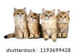 four fluffy golden british...   Shutterstock . vector #1193699428