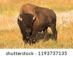Bull Bison At Sunrise During...