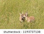 Pronghorn Fawns In Tall Creste...