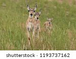 Three Pronghorn Fawns In...