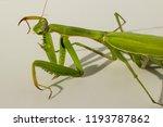 a female mantis. predatory... | Shutterstock . vector #1193787862