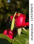 a female mantis. predatory... | Shutterstock . vector #1193789875