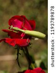 a female mantis. predatory... | Shutterstock . vector #1193789878