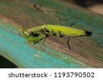 a female mantis. predatory... | Shutterstock . vector #1193790502