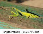 a female mantis. predatory... | Shutterstock . vector #1193790505