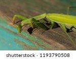 a female mantis. predatory... | Shutterstock . vector #1193790508