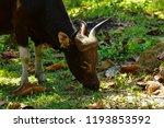 red cow wildlife rare. wildlife ... | Shutterstock . vector #1193853592