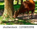 red cow wildlife rare. wildlife ... | Shutterstock . vector #1193853598