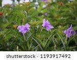 mexican petunia flower plants... | Shutterstock . vector #1193917492
