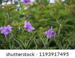 mexican petunia flower plants... | Shutterstock . vector #1193917495