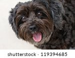 Happy Schnoodle Puppy ...