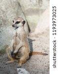 meerkat suricate or suricata...   Shutterstock . vector #1193973025