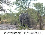 Mud Splattered Elephant Partly...
