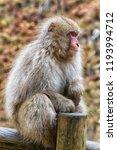snow monkeys in a natural onsen ... | Shutterstock . vector #1193994712