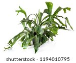 platycerium plant in front of... | Shutterstock . vector #1194010795
