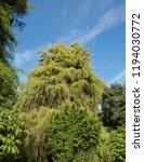 golden weeping cypress tree ...   Shutterstock . vector #1194030772