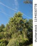 golden weeping cypress tree ...   Shutterstock . vector #1194030778