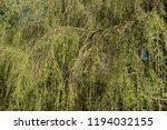 golden weeping cypress tree ...   Shutterstock . vector #1194032155
