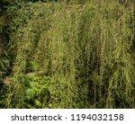 golden weeping cypress tree ...   Shutterstock . vector #1194032158