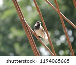 songbird sits on a trellis | Shutterstock . vector #1194065665