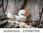duck hatching eggs   white... | Shutterstock . vector #1194087598