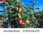 ripe fruits of red apples on... | Shutterstock . vector #1194146155